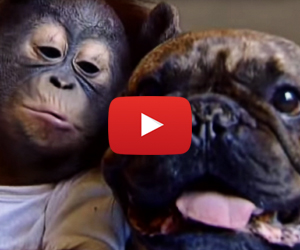 This Bulldog and Orangutan Baby Are BFFs