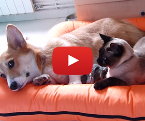 Patient Corgi Tolerates Annoying Cat