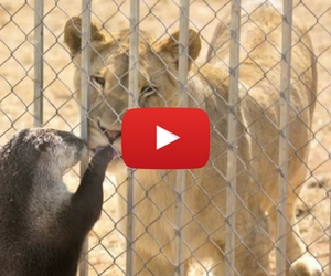 Cute Otter Plays with Lions and Hyenas
