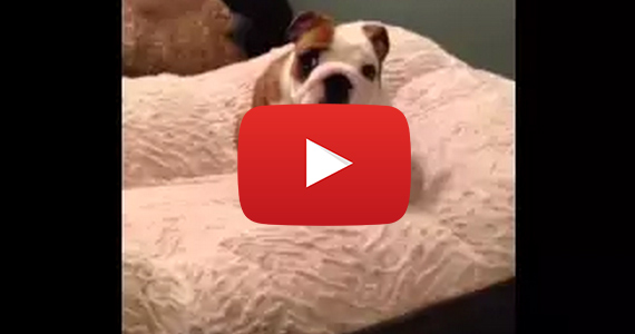 English Bulldog Puppy Loves His Bed