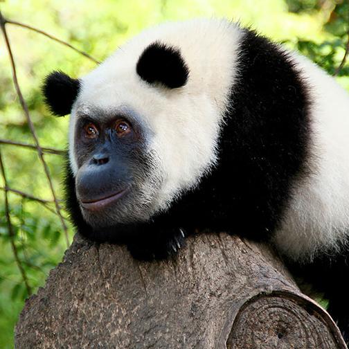 animaux-panda-504