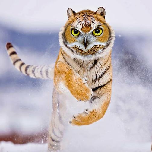 animaux-tigre-504
