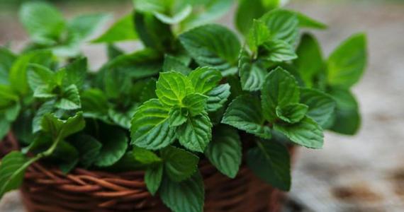 menthe-plante