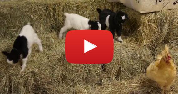 Baby Fainting Goats Meet Barn Chicken