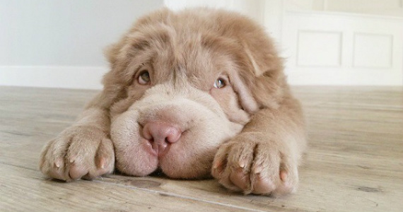 Meet Tonkey The Shar-Pei Puppy