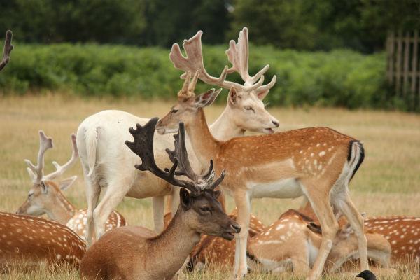 fallow-deer-bushy-park
