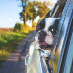 Car insurance quote even for dogs with their heads hanging out the window as the car rolls along Eau Claire Wisconsin roads