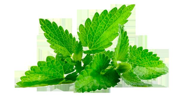 Листья мяты для кожи