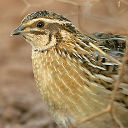 Small Game - Quails