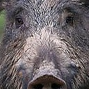 Big Game - Wild Boars