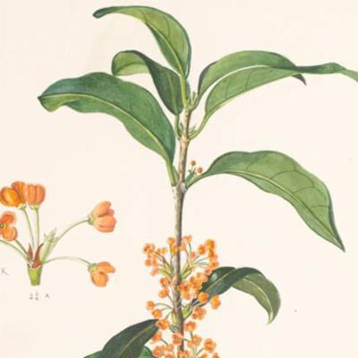 Osmanthus fragrans (fragrant olive)