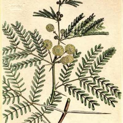 Illustration of  <em>Vachellia nilotica</em>