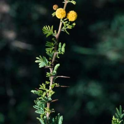 <em>Vachellia nilotica</em> inflorescences
