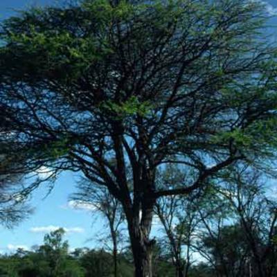 <em>Vachellia nilotica</em> tree
