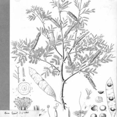 Illustration of  <em>Senegalia senegal</em>