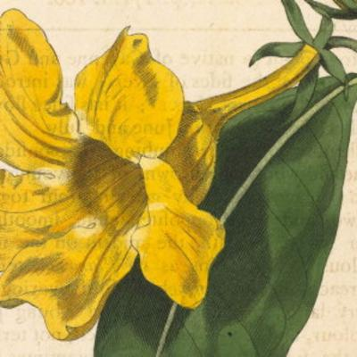Allamanda cathartica l plants of the world online kew science ksp mightylinksfo