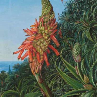 Painting of Aloe vera by Marianne North