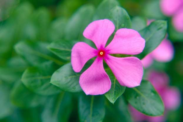 Catharanthus roseus l gn plants of the world online kew images mightylinksfo