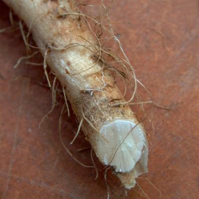 Cichorium intybus root