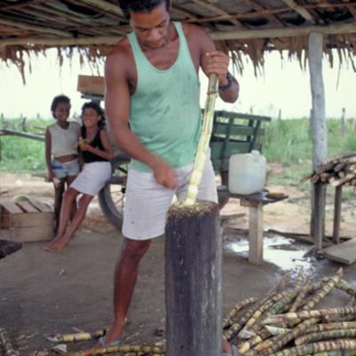 Crushing sugar cane in Brazil