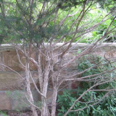 Melaleuca alternifolia (tea tree)