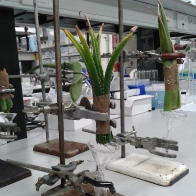 Collecting aloe leaf exudate in the Jodrell Laboratory