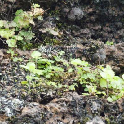 Anogramma ascensionis (Ascension Island parsley fern)