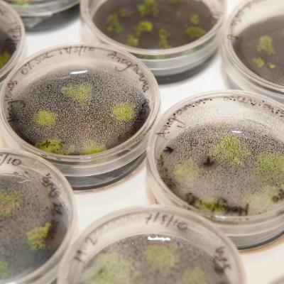 Anogramma gametophytes