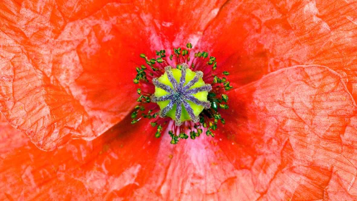Papaver rhoeas l plants of the world online kew science images mightylinksfo