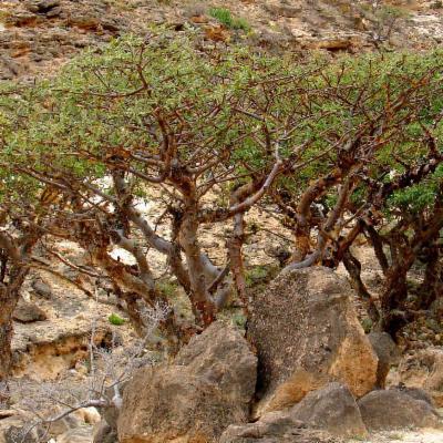 Boswellia sacra (frankincense)