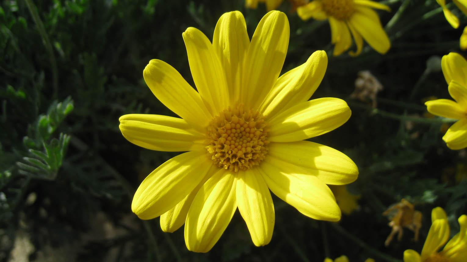 Euryops pectinatus cass plants of the world online kew science ksp izmirmasajfo