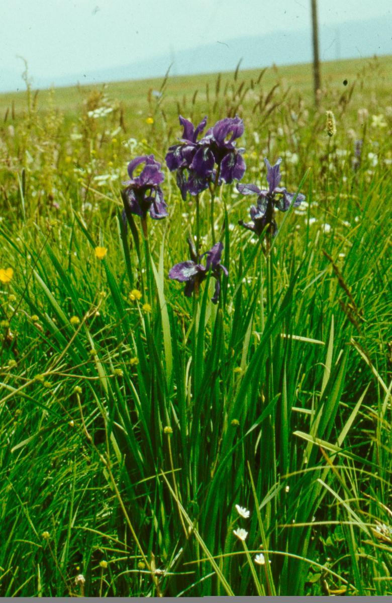 Iris Sibirica L Plants Of The World Online Kew Science