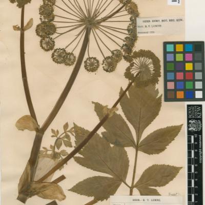 Angelica archangelica herbarium specimen