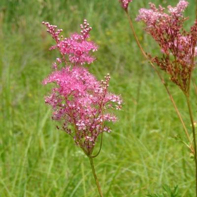 Filipendula rubra (queen of the prairie)