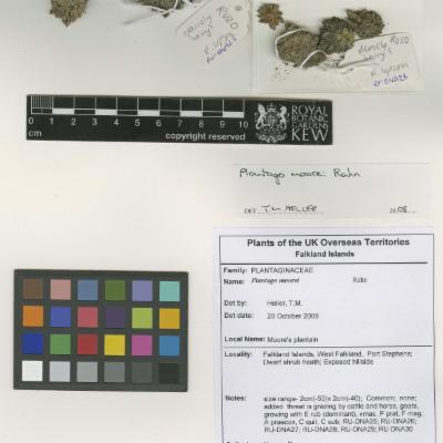 Plantago moorei herbarium specimen