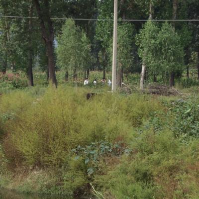 Artemisia annua habitat