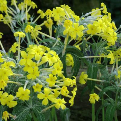 Primula verticillata (yellow primrose)