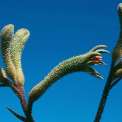 Anigozanthos flavidus (evergreen kangaroo paw)
