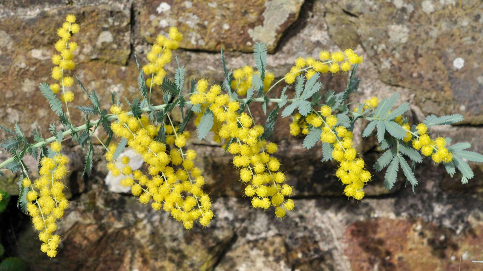 Acacia Baileyana Fmuell Plants Of The World Online Kew Science