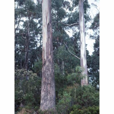 Eucalyptus globulus (Tasmanian blue gum)