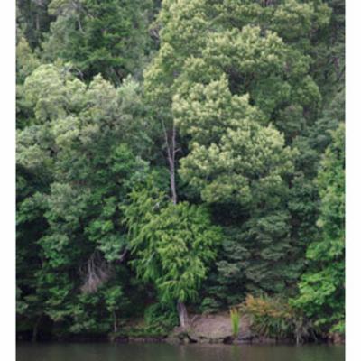 Lagarostrobos franklinii (Huon pine)
