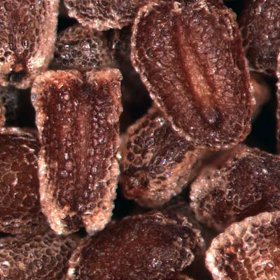 Digitalis purpurea seeds