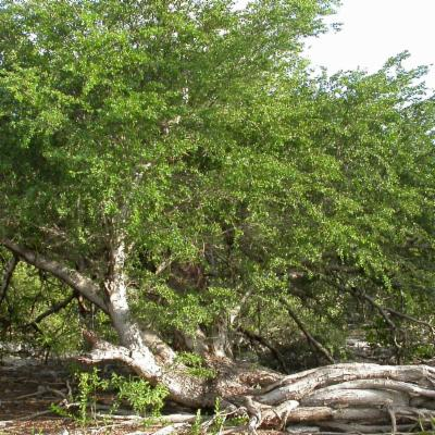<em>Vachellia anegadensis</em> (poke-me-boy)