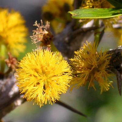 <em>Vachellia anegadensis</em> flowers