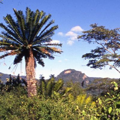 Encephalartos tegulaneus (lpision)