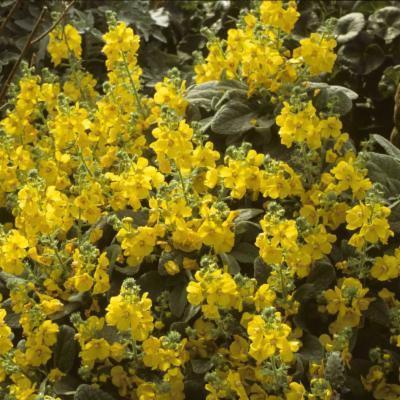 Verbascum dumulosum (shrubby mullein)