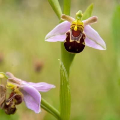 Ophrys apifera (bee orchid)
