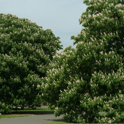 Aesculus indica (Indian horse chestnut)