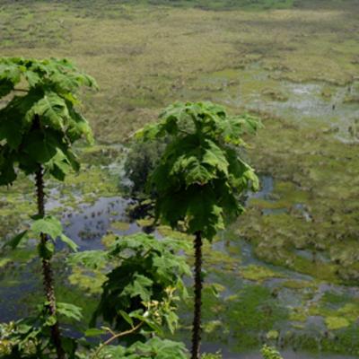 Obetia radula (stinging-nettle tree)