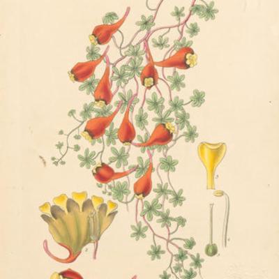 Triopaeolum tricolour
